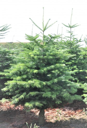 Fresh Cut Nordmann Fir Christmas Tree - Including Delivery