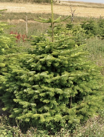 Commercial, Cut to Order, Nordmann Fir Christmas Tree - Delivery Included,