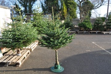 Long Trunk Nordmann Fir Christmas Tree - Delivery Included